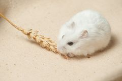 Le hamster mangent une graine Photo stock
