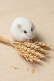 Le hamster mangent une graine Photographie stock libre de droits