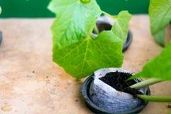 Le haricot, brinjal plante l'élevage dans le pot net hydroponique Photos stock