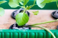Le haricot, brinjal plante l'élevage dans le pot net hydroponique Images libres de droits
