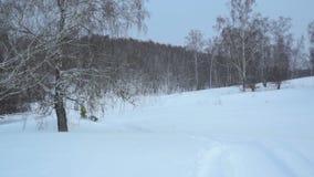 Le harnais avec un chien de traîneau sibérien monte sur un champ couvert de neige banque de vidéos