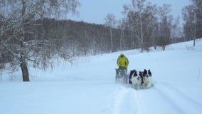 Le harnais avec un chien de traîneau sibérien monte sur un champ couvert de neige clips vidéos