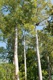 Le haut arbre Photos libres de droits