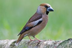 Le Hawfinch Photographie stock