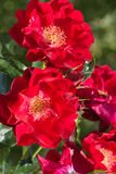 Le heldere d'Een takje van de est monté rozen le lat Rosa s'est réuni een des bloemblaadjes de lichte Photographie stock