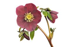 Le Helleborus ?Red Lady? d'isolement sur le blanc Photographie stock libre de droits