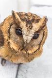 Le hibou Photographie stock libre de droits