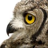 le hibou de 8 d'africanus de bubo mois d'aigle a repéré photos libres de droits