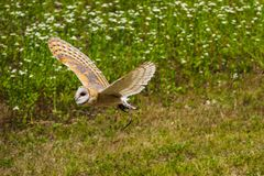 Le hibou de grange occidental, Tyto alba en parc naturel photographie stock