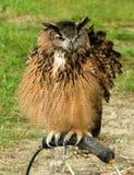 Le hibou de Hoo Hoo images libres de droits
