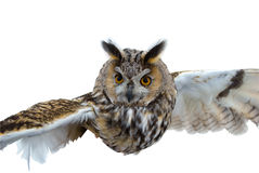 Le hibou en vol. Photo libre de droits