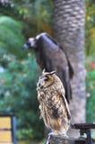 Le hibou et le vautour pour des photos avec des touristes en l'Abkhazie Photographie stock libre de droits