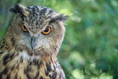 Le hibou regardent fixement vers le bas Photo stock