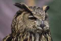 Le hibou sauvage et beau avec le plumage de couleurs terreuses, a des intens image libre de droits