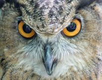 Le hibou vous observe Photos stock
