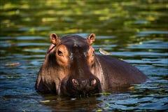 Le hippopotamus. photo stock