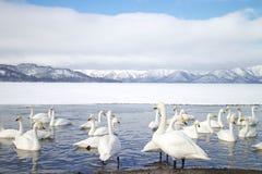 LE HOKKAIDO, JAPAN-JAN 31, 2013 : Cygnes dans le lac Kussharo, Hokkaido Image stock