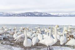LE HOKKAIDO, JAPAN-JAN 31, 2013 : Cygnes dans le lac Kussharo, Hokkaido Photos libres de droits