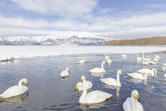 LE HOKKAIDO, JAPAN-JAN 31, 2013 : Cygnes dans le lac Kussharo, Hokkaido Photos stock