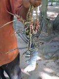 Le homard dans les mains du ` s de pêcheur se ferment  images libres de droits