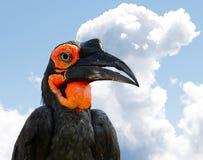 Le Hornbill au sol méridional Photographie stock