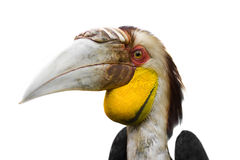 Le Hornbill de Blyth Images libres de droits