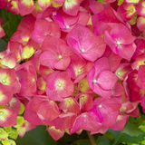 Le Hortensia vibrant fleurit le plan rapproché images libres de droits
