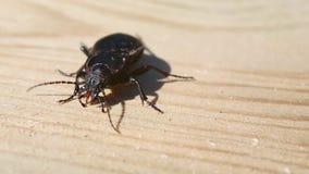 Le hortensis de Carabus de scarabée rectifié est sur un conseil en bois clips vidéos