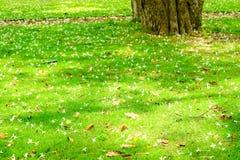 Le hortensis de Millingtonia est tombé sur le jardin d'herbe verte, ralax de concept image libre de droits