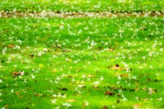 Le hortensis de Millingtonia est tombé sur le jardin d'herbe verte, ralax de concept photo stock