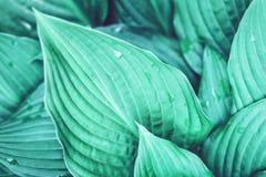 Le hosta vert part avec des gouttelettes d'eau images stock
