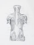 Le hunam arrière muscles le dessin au crayon Photographie stock