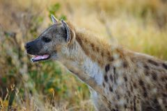le hyaena de crocuta a repéré Photographie stock