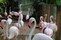 Le immagini dei fenicotteri allo zoo in Tailandia, Asia Fotografia Stock Libera da Diritti