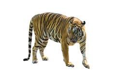 Le immagini della tigre su fondo bianco hanno verbi differenti fotografia stock libera da diritti