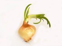 Le immagini delle cipolle secche hanno germinato per gli esperimenti e le assegnazioni fotografie stock libere da diritti