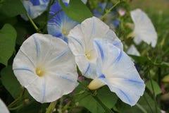 Le ipomee blu e bianche accolgono il giorno di estate Immagine Stock