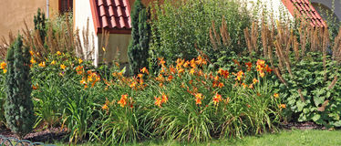 Le iridi arancio si sviluppano su un letto di fiore vicino ad una fattoria Immagine Stock
