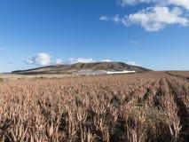 Le isole Canarie della piantagione di vera dell'aloe Immagine Stock Libera da Diritti