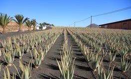 Le isole Canarie, Fuerteventura: Aloe Vera Plantation con l'impianto di lavorazione Fotografie Stock