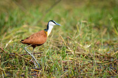 Le Jacana africain Photos stock