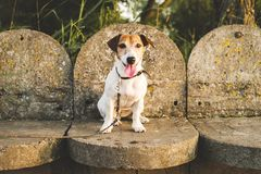 le Jack-Russell-chien a abandonné et a laissé seul sur la route ou sur la rue, se reposant sur le fond des pas concrets photo stock