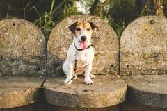 le Jack-Russell-chien a abandonné et a laissé seul sur la route ou sur la rue, se reposant sur le fond des pas concrets photographie stock libre de droits