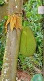 Le jacquier de fruit s'élevant hors d'un tronc d'arbre Photo libre de droits