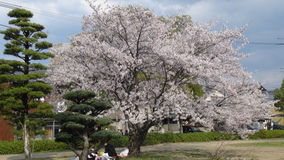 Le Japon Cherry Blossom Tree photos stock