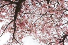 Le Japon Sakura Photos libres de droits