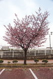 Le Japon Sakura Photo libre de droits