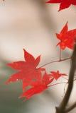 Le Japonais Autumn Maple laisse le fond Images libres de droits