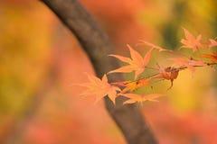Le Japonais Autumn Maple laisse le fond Image stock
