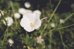 Le Japonais blanc knotweed aka la fleur de gloire de matin images libres de droits